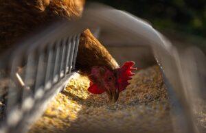 hen, chicken, feeding