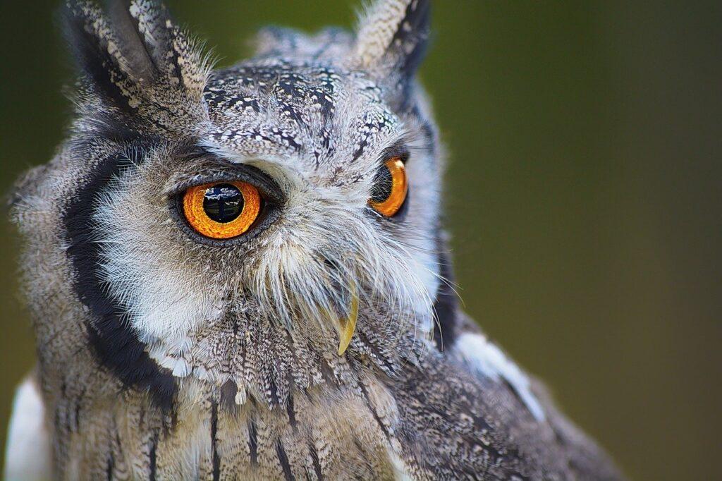 owl, bird, head